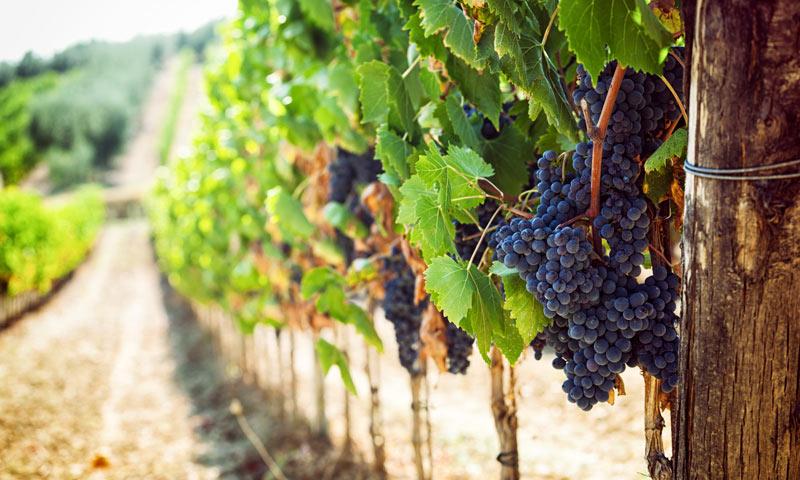 vigne chianti