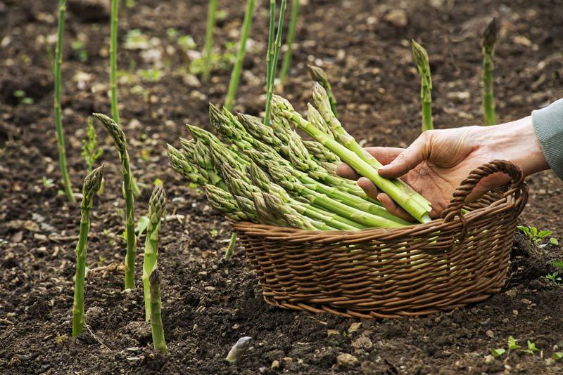 asparagi coltivati