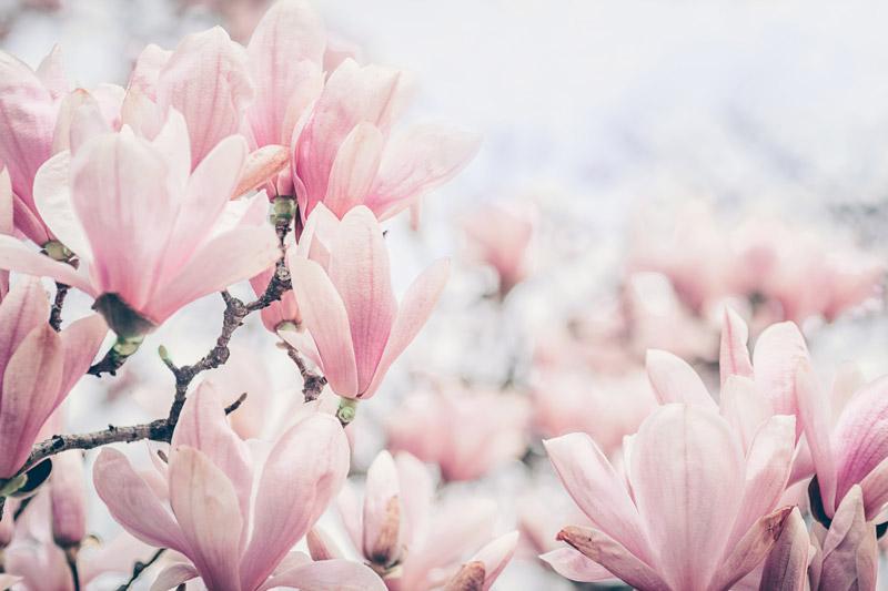 Magnolia nobile