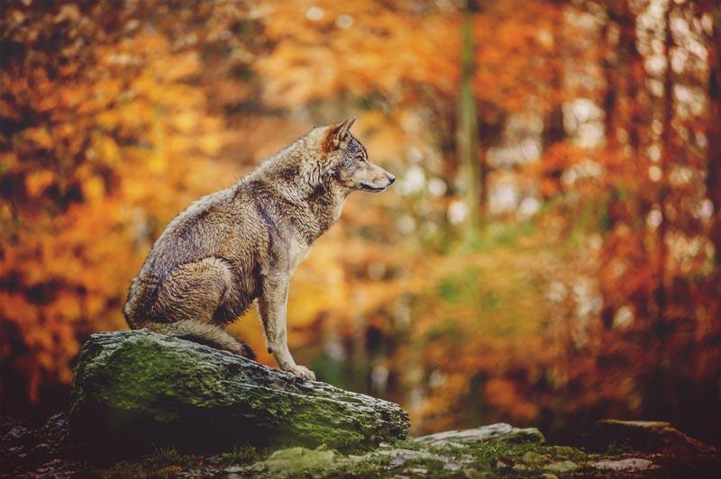 Il lupo perde il pelo ma non il vizio